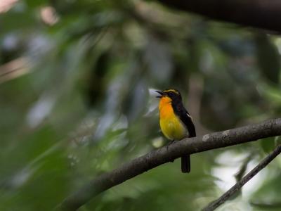 soku_27325.jpg :: 動物 鳥 野鳥 自然の鳥 キビタキ