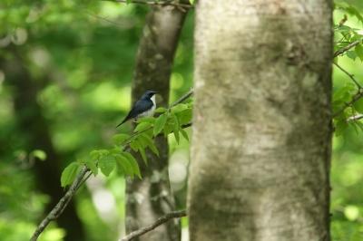 soku_27326.jpg :: 動物 鳥 野鳥 自然の鳥 コルリ