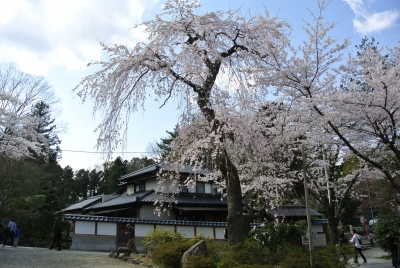 soku_27368.jpg :: 植物 花 桜 サクラ