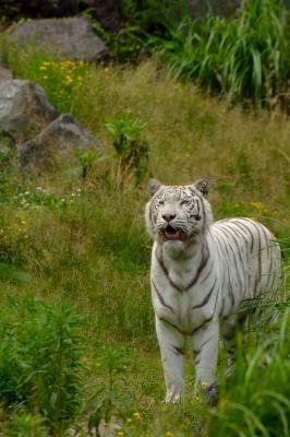 soku_27381.jpg :: 動物 哺乳類 虎 白トラ