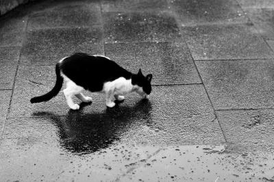 soku_27407.jpg :: 動物 哺乳類 猫 ネコ モノクロ