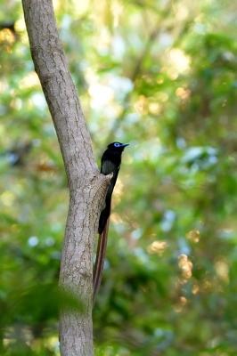 soku_27437.jpg :: 動物 鳥 野鳥 自然の鳥 サンコウチョウ