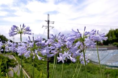 soku_27438.jpg :: 植物 花 紫の花