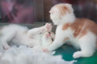 soku_27477.jpg :: 動物 哺乳類 猫 ネコ 子猫