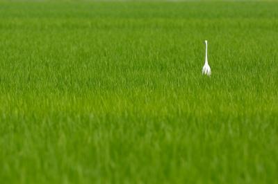 soku_27497.jpg :: 風景 自然 田畑 水田 動物 鳥 鷺 チュウサギ