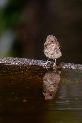 soku_27499.jpg :: 動物 鳥 野鳥 自然の鳥 キビタキ 幼鳥