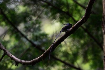 soku_27500.jpg :: 動物 鳥 野鳥 自然の鳥 サンコウチョウ