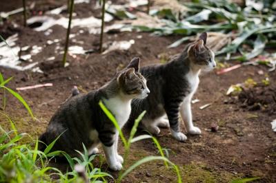 soku_27594.jpg :: 動物 哺乳類 猫 ネコ
