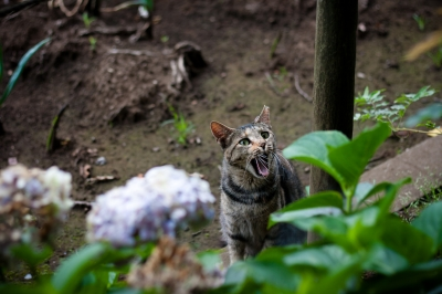 soku_27616.jpg :: 動物 哺乳類 猫 ネコ