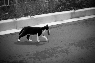 soku_27620.jpg :: 動物 哺乳類 猫 ネコ ネズミ捕食