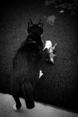 soku_27621.jpg :: 動物 哺乳類 猫 ネコ ネズミ捕食