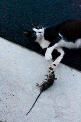 soku_27622.jpg :: 動物 哺乳類 猫 ネコ ネズミ捕食