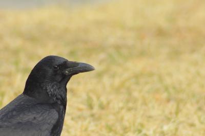 soku_27659.jpg :: 動物 鳥 野鳥 自然の鳥 カラス