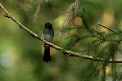 soku_27747.jpg :: 動物 野鳥 自然の鳥 サンコウチョウ