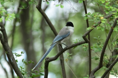 soku_27770.jpg :: 動物 鳥 野鳥 自然の鳥 オナガ