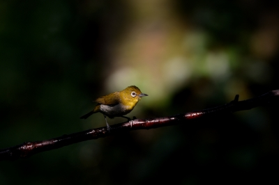 soku_27787.jpg :: 動物 鳥 野鳥 自然の鳥 メジロ