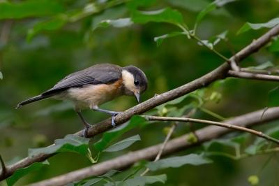 soku_27790.jpg :: 動物 鳥 野鳥 自然の鳥 ヤマガラ 幼鳥