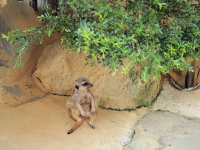 soku_27847.jpg :: 動物 哺乳類 マングース科 ミーアキャット