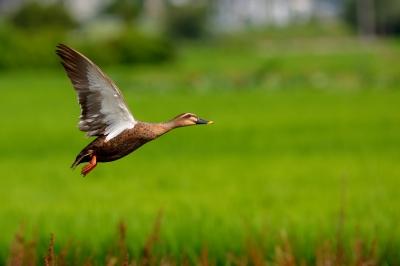 soku_27849.jpg :: 動物 鳥 鴨 カモ カルガモ