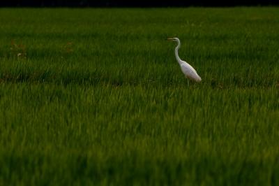 soku_27850.jpg :: 動物 鳥 野鳥 自然の鳥 ダイサギ