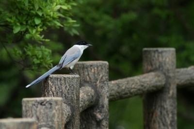 soku_27860.jpg :: 動物 鳥 野鳥 自然の鳥 オナガ