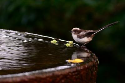 soku_27861.jpg :: 動物 鳥 野鳥 自然の鳥 エナガ
