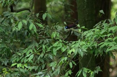 soku_27869.jpg :: 動物 鳥 野鳥 自然の鳥 サンコウチョウ