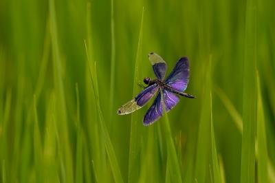 soku_27886.jpg :: 動物 虫 昆虫 チョウトンボ