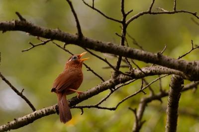 soku_27926.jpg :: 動物 鳥 野鳥 自然の鳥 ガビチョウ 篭脱け