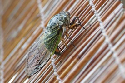 soku_27970.jpg :: 動物 虫 昆虫 蝉 セミ