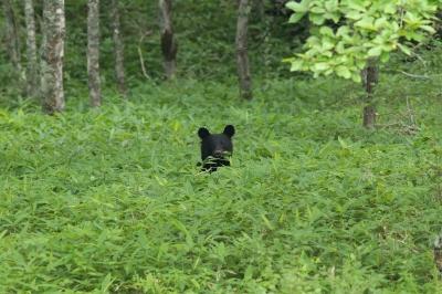 soku_27986.jpg :: 動物 哺乳類 熊 ツキノワグマ