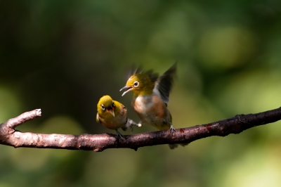 soku_28014.jpg :: 動物 鳥 野鳥 自然の鳥 メジロ