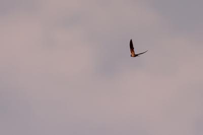soku_28023.jpg :: 動物 鳥 野鳥 自然の鳥 未記入鳥