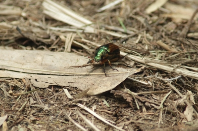 soku_28027.jpg :: 動物 昆虫 甲虫 スジコガネ