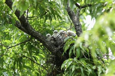 soku_28050.jpg :: 動物 野鳥 自然の鳥 ツミ 雛