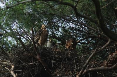 soku_28053.jpg :: 動物 野鳥 自然の鳥 オオタカ 若鳥