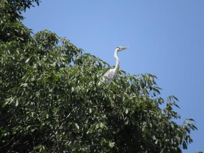 soku_28071.jpg :: 動物 鳥 野鳥 自然の鳥 サギ