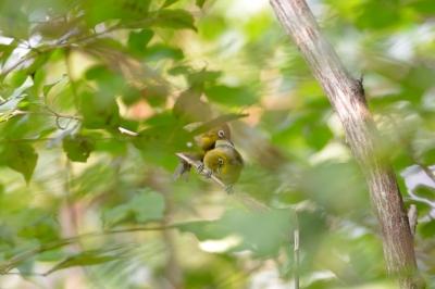 soku_28091.jpg :: 動物 鳥 野鳥 自然の鳥 メジロ
