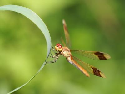 soku_28100.jpg :: 動物 虫 昆虫 蜻蛉 トンボのメガネ