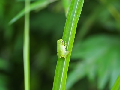 soku_28103.jpg :: 動物 爬虫類 両生類 カエル
