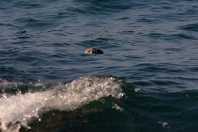 soku_28157.jpg :: 動物 海の生物 アザラシ アシカ 梅沢海岸