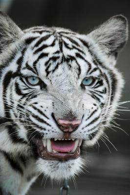 soku_28161.jpg :: 動物 哺乳類 虎 白トラ