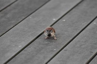 soku_28173.jpg :: 動物 鳥 雀 スズメ