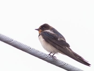 soku_28224.jpg :: 動物 鳥 野鳥 自然の鳥 未記入鳥