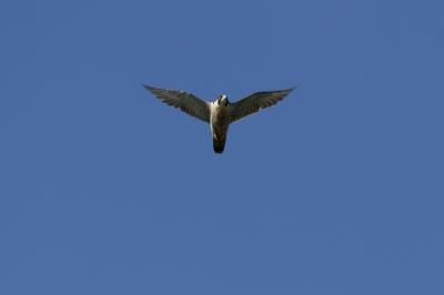 soku_28405.jpg :: 動物 鳥 猛禽類 ハヤブサ