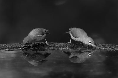 soku_28432.jpg :: 動物 鳥 野鳥 自然の鳥 未記入鳥 水鏡