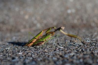 soku_28440.jpg :: 動物 虫 昆虫 蟷螂 カマキリ