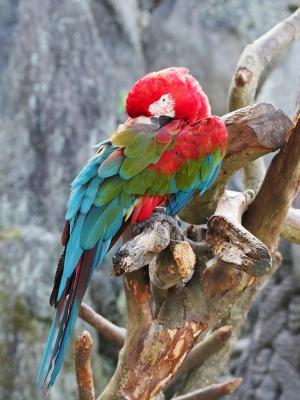 soku_28447.jpg :: 動物 鳥 オウム