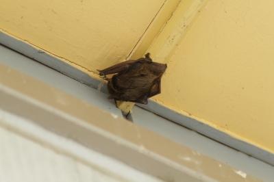 soku_28462.jpg :: 蝙蝠 コウモリ