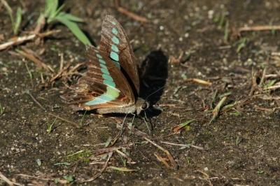 soku_28472.jpg :: 動物 虫 昆虫 蝶 チョウ